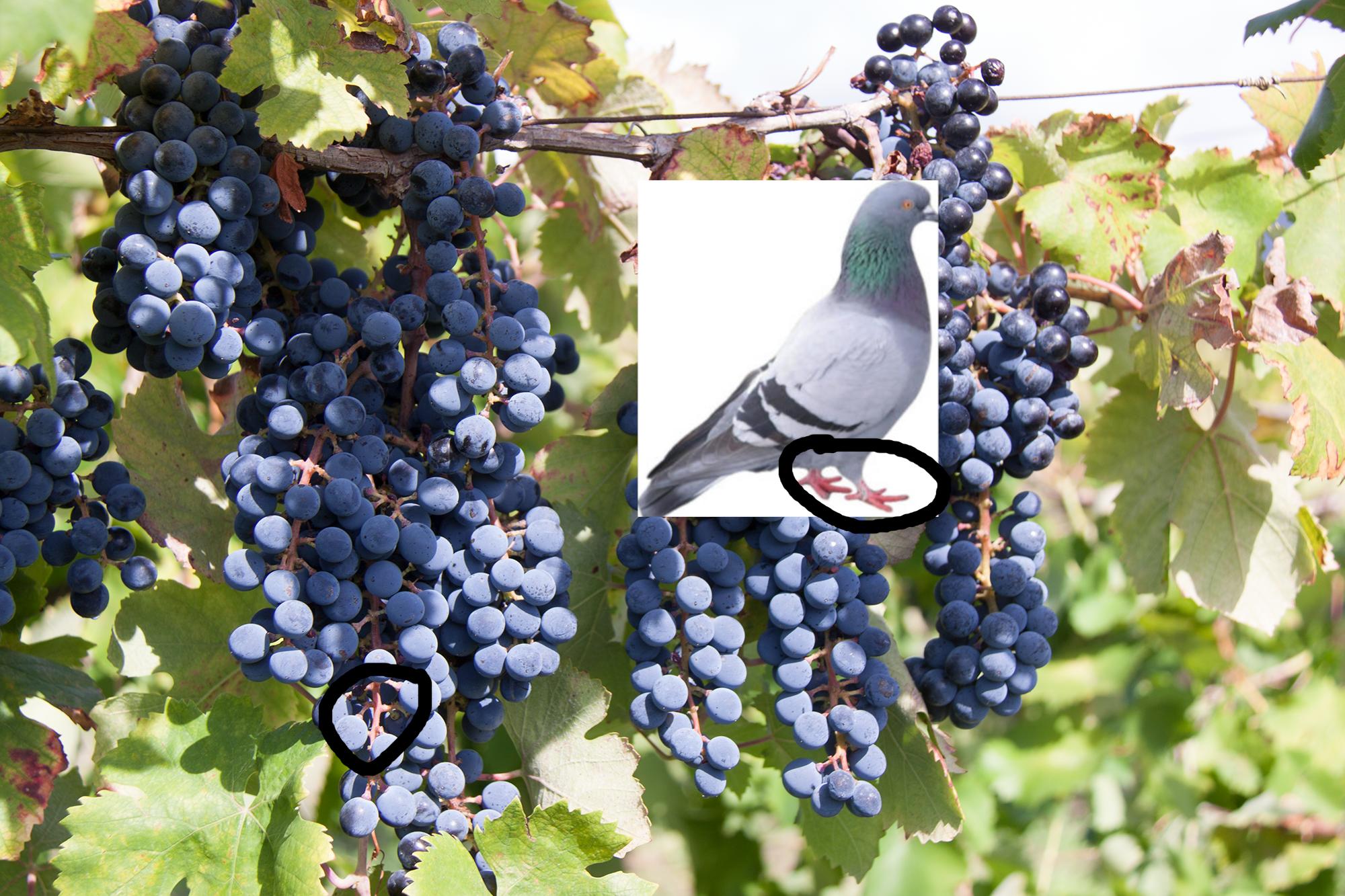 Piedirosso grapes - Best Italian red wines